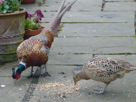 Morgans Bed and Breakfast: Pheasants dining on the patio!
