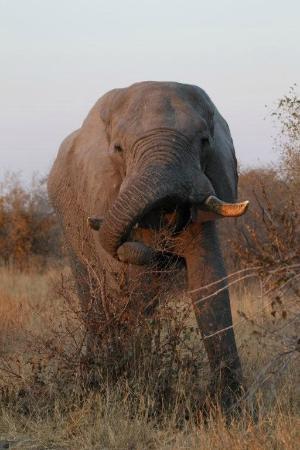 Ghoha Hills Savuti: Elephant