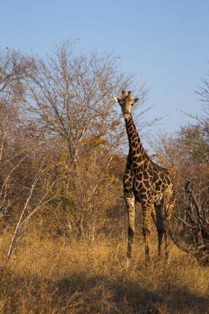 Ghoha Hills Savuti: giraffe at ghoha