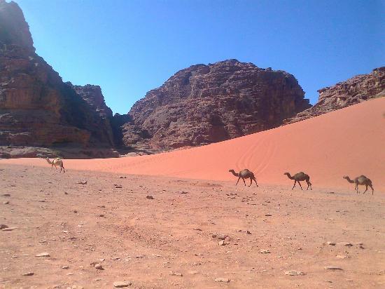 Wadi Rum Team: camels in wadi rum