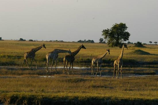 Giraffes crossing Chobe Game Lodge