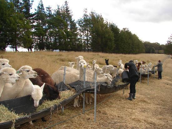 Madison's Mountain Retreat: Alpacas' feeding