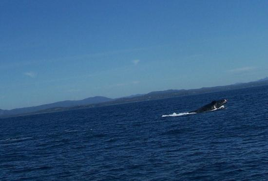 Forster, Australia: Humpback on Amaroo Cruise July 2012