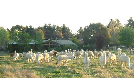Glenhope Alpacas B&B Accommodation Armidale