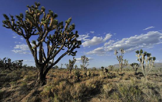Mojave National Preserve: Joshua Trees