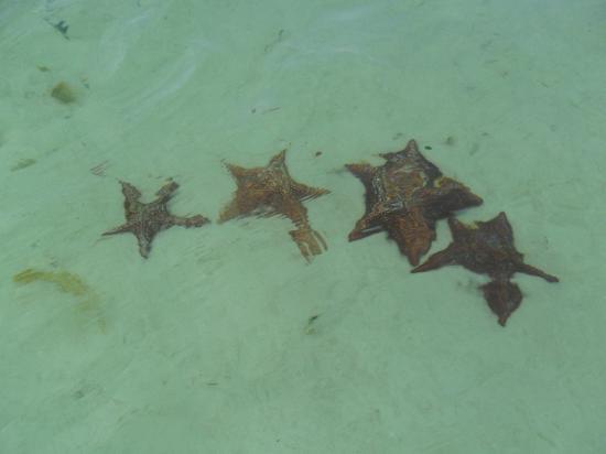 Sirena Beach : Estrellas de mar.