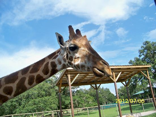 Giraffe Ranch: giraffe eating