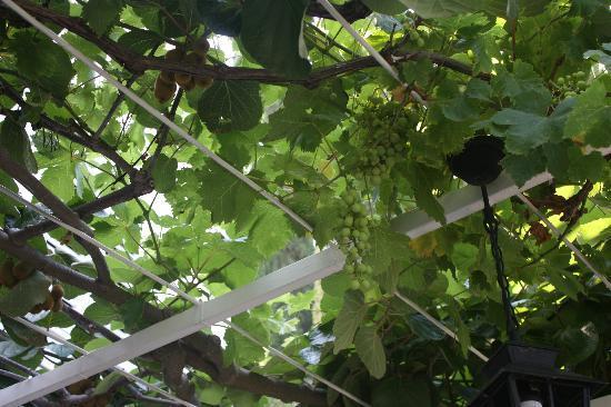 Villa Vidak Cavtat: grapevines on the breakfast patio