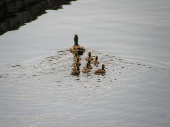 Idabel Lake Resort: Duck with her babies