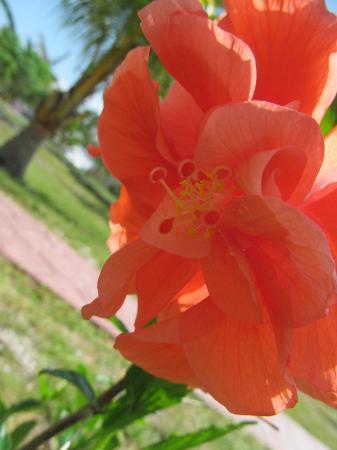 Hatchet Caye Resort: Beautiful flower