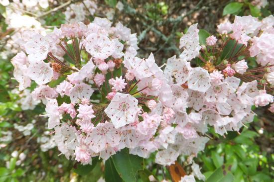 ‪ماونتين فيليز آت ماسانوتين باي كيس فاكيشنز: The Mountain Laurel Blooms Late May on the Ridge Hiking Trail