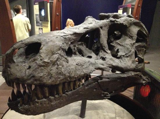 Museum of Science and History: Sue Skull