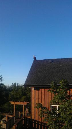 Ecoscape Cabins: Eagle on our cabin roof