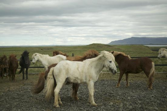 Videy Island: Icelandic horses on the stable behind the Governor's House