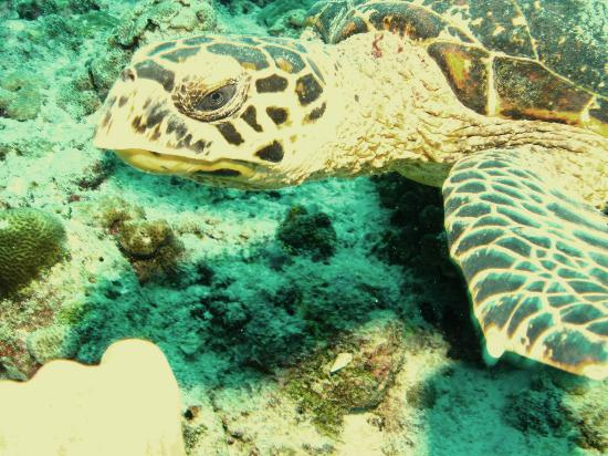 Euro Divers at Kurumba Maldives: Turtles