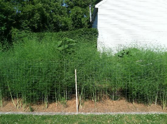 River Bend Farm: asparagus garden