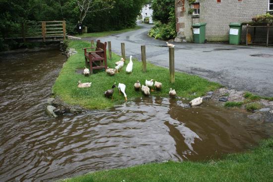 Bassenthwaite Hall Farm: More Ducks......