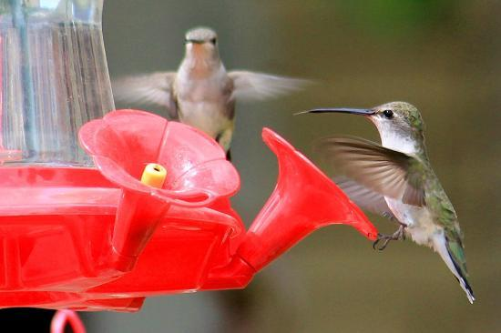 River Terrace Inn: Close-up of hummingbirds