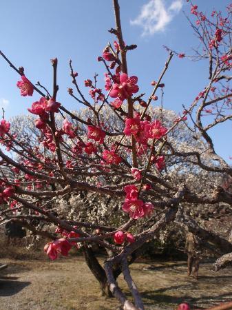 Nanrakuen Garden : Plum blossoms