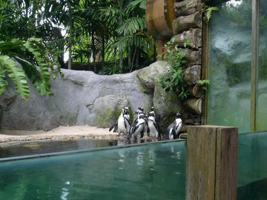 สวนสัตว์สิงคโปร์: Penguins