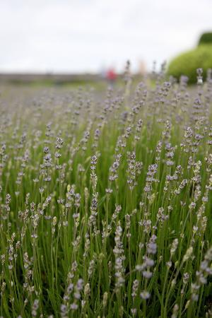 Cotswold Lavender : Fields of lavender