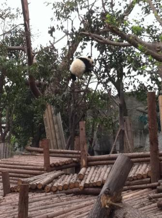 Eastern Royal Tombs of the Qin Dynasty of Xi'an: Panda cub playing on a tree!!