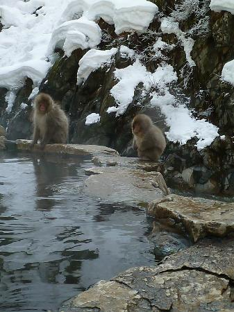 Shiga Kogen Prince Hotel: Snow Monkeys