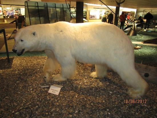 Svalbard Museum: A full grown polar bear