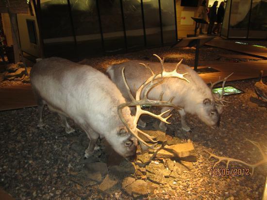 Svalbard Museum: A pair of reindeers