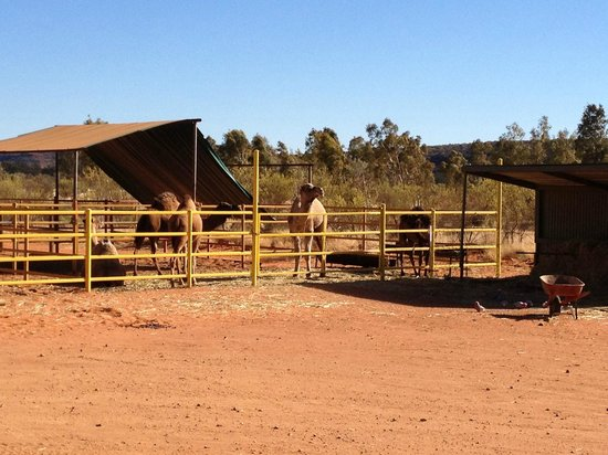 Kings Creek Station: Some of their camels.