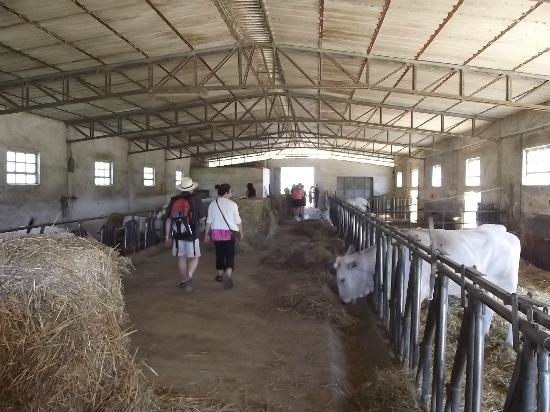 Fattoria Poggio Alloro: We were given a tour of the organic cattle