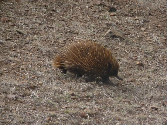 Exceptional Kangaroo Island: Echidna just pottering eating ants