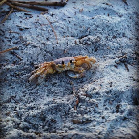 The King and Prince Beach and Golf Resort: Crab!