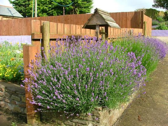 Cheristow Lavender: Lavender by the sunflower garden