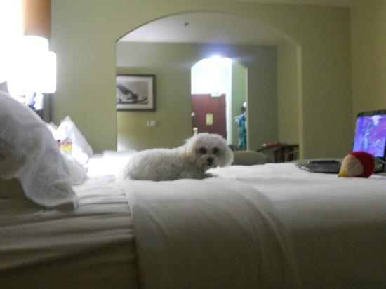Holiday Inn Express Hotel & Suites Amarillo East: Very spacious and clean rooms (obviously my puppy was pleased as well)