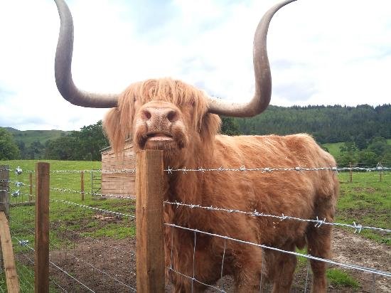 The Hairy Coo: Hamish!