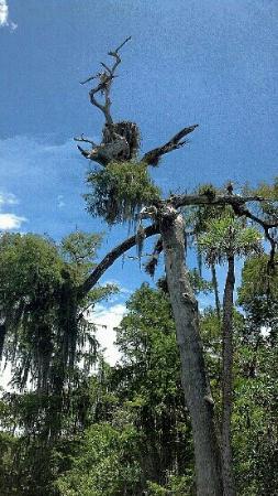 Hobe Sound, FL: Osprey nest