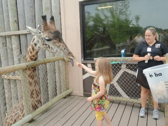 They Have Giraffe Feedings Several Times A Day Picture
