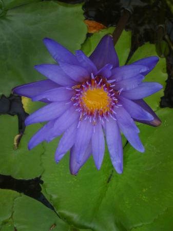 Horticultural Gardens (Tradgardsforeningen) : Vannlilje