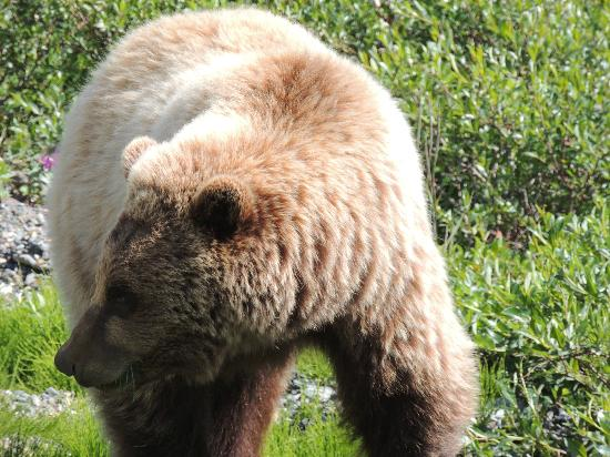Denali: Grizzly at DNP
