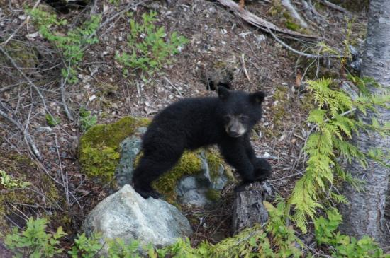 ‪ويسلر, كندا: Bear on Blackcomb Mountain