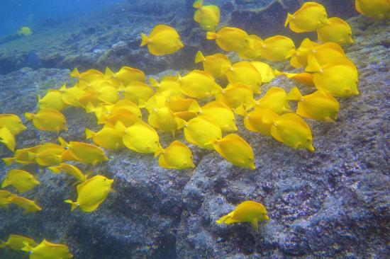Captain Cook, Hawaï: School of Yellow Tang