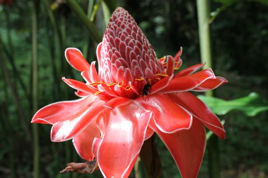 "Asa Wright Nature Centre: ""hawaiian torch"""