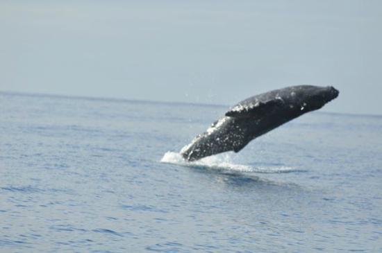 Kaulana Pali Kai: Whale Breach in April