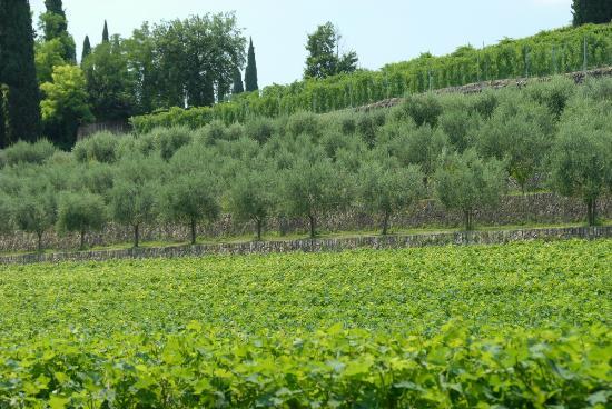 Villa Giona: Oliven- og vinlund