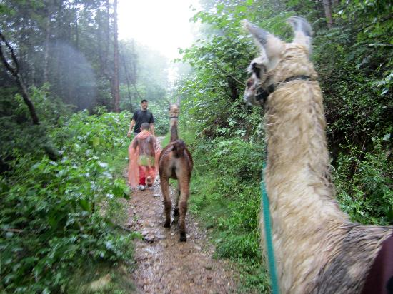 Smoky Mountain Llama Treks - Day Tours: Steve leading Reese and Talley the back Llama is Woody