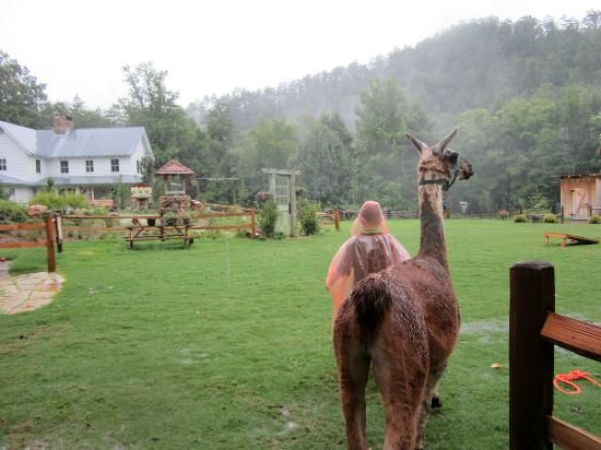 Smoky Mountain Llama Treks - Day Tours: through the pasture