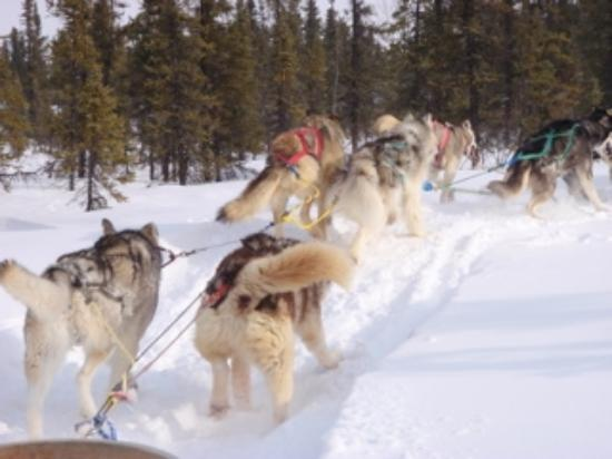 Bettles Lodge: Great dog sled ride!  Can't wait to do that again.  :-)