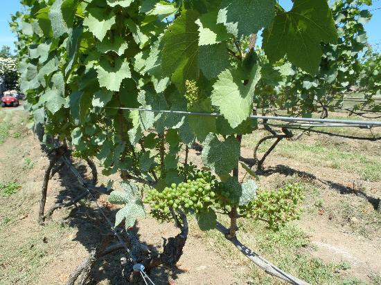 Truro Vineyards of Cape Cod: Grapes