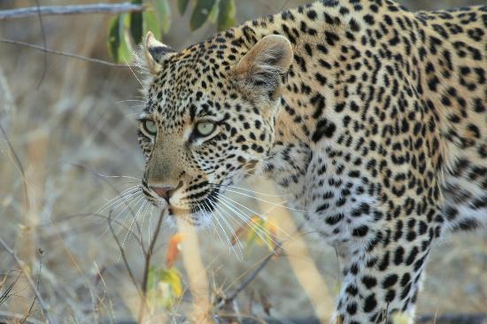 Gomo Gomo Game Lodge: Leopard Sighting - Day Drive (offroading)